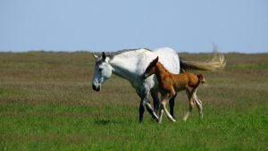 Breeding Your Mare